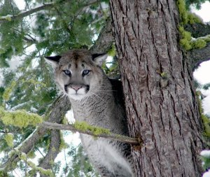 Cougar – Washington Department of Fish & Wildlife