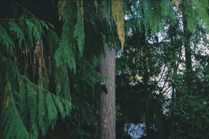 Woodpecker on Fir Tree